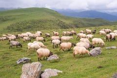 Weidend land met schapen Stock Afbeelding