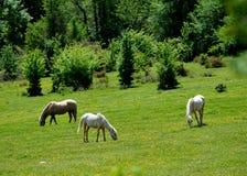 Weidend paard Royalty-vrije Stock Foto