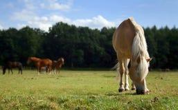 Weidend paard royalty-vrije stock foto's