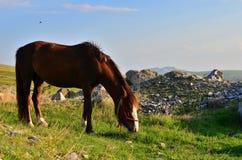 Weidend paard op zonsondergang Royalty-vrije Stock Foto