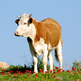 Weidend vee Stock Afbeelding
