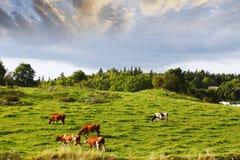 Weidend vee op oud plattelandsgebied Royalty-vrije Stock Foto's