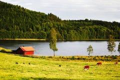 Weidend vee op oud plattelandsgebied Royalty-vrije Stock Fotografie