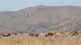 Weidende blesbok antilopen stock videobeelden