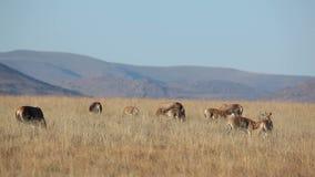 Weidende blesbok antilopen stock footage