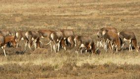 Weidende blesbok antilopen - Zuid-Afrika stock footage