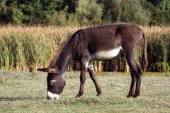 Weidende bruine ezel royalty-vrije stock fotografie