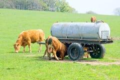 Weidende bruine koeien Royalty-vrije Stock Afbeeldingen