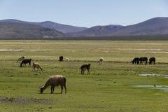 Weidende dieren op altiplano Stock Fotografie