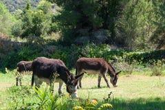 Weidende ezels Royalty-vrije Stock Afbeelding