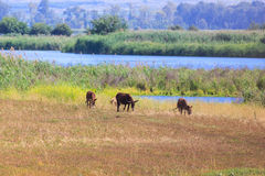 Weidende ezels royalty-vrije stock foto's