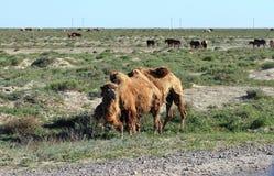 Weidende kamelen en horsesan stock fotografie