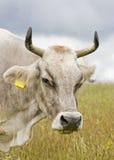 Weidende koe stock afbeeldingen