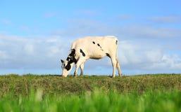 Weidende koe Stock Afbeelding