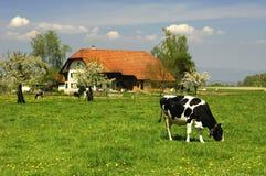 Weidende koe Royalty-vrije Stock Afbeeldingen