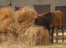 Weidende koe Royalty-vrije Stock Foto's