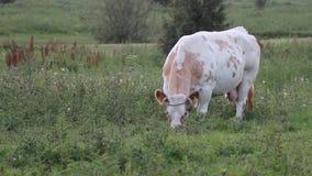 Weidende koe stock video