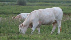 Weidende koe stock videobeelden