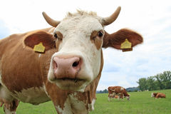 Weidende koe. Royalty-vrije Stock Foto's