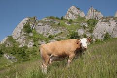 Weidende koe Royalty-vrije Stock Foto