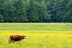 Weidende koe Stock Foto's
