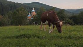 Weidende koe in bergdorp stock video