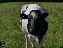 Weidende koe op het gebied stock foto
