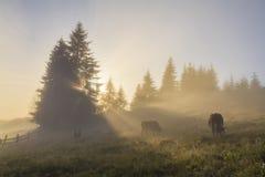 Weidende koe op ochtendweide Royalty-vrije Stock Afbeeldingen