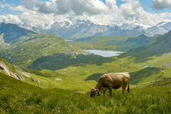 Weidende koe in Zwitserse Alpen stock foto's