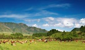 Weidende koeien stock foto's