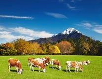 Weidende Koeien Royalty-vrije Stock Afbeelding