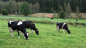 Weidende koeien Stock Afbeelding