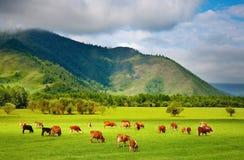 Weidende koeien Royalty-vrije Stock Foto