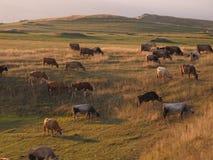 Weidende Koeien stock foto