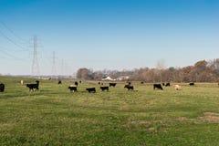 Weidende Koeien Stock Afbeeldingen