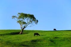 Weidende koeien Stock Fotografie