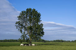 Weidende koeien onder een boom Royalty-vrije Stock Foto's