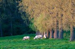Weidende koeien in Oost-Vlaanderen royalty-vrije stock fotografie