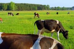 Weidende koeien op de lentegebied Stock Afbeelding