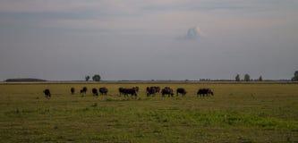 Weidende Koeien op een reusachtig gebied Royalty-vrije Stock Fotografie
