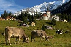 Weidende koeien op een weiland in de Alpen stock afbeelding