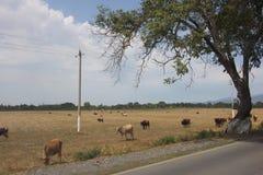 Weidende koeien op het open gebied Royalty-vrije Stock Foto