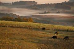 Weidende koeien in vroege ochtend royalty-vrije stock afbeelding