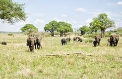 Weidende kudde van olifanten Stock Afbeeldingen