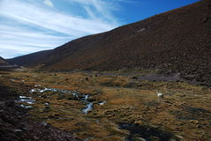 Weidende lama's Stock Foto's