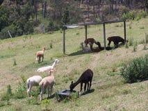 Weidende Lama's stock afbeeldingen