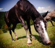 Weidende paardclose-up Stock Afbeelding