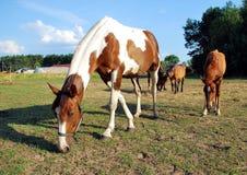 Weidende paarden Stock Foto's