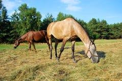 Weidende paarden Royalty-vrije Stock Fotografie