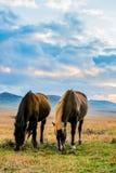 Weidende paarden Royalty-vrije Stock Afbeeldingen